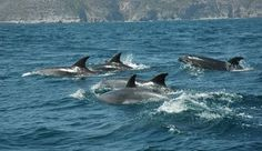 Bottlenose dolphins off Sesimbra, Portugal  (www.escolademar.pt)
