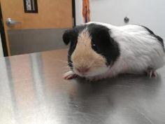 Daisy: Guinea Pig, Guinea Pig; Columbia, SC