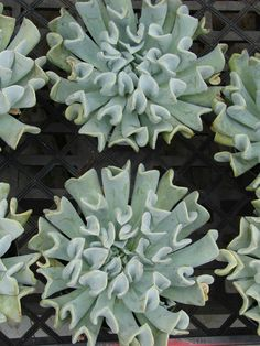 Echeveria runyonii 'Topsy Turvy' - Mexican Hen and Chicks