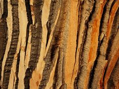 cottonwood-tree-bark