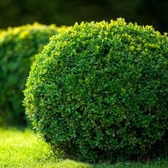 True Dwarf English Boxwood Buxus Live Plant Trade | Etsy Shrubs For Landscaping, Front House Landscaping, Planting Shrubs, Landscaping Design, Natural Landscaping, Garden Shrubs, Flowering Plants, Boxwood Plant, Boxwood Hedge