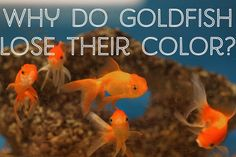 Discover why your goldfish has changed color from gold to white, red or black.
