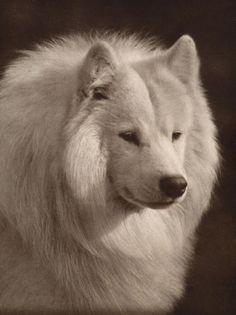 SAMOYED LOVELY OLD HEAD STUDY IMAGE ON DOG GREETINGS NOTE CARD