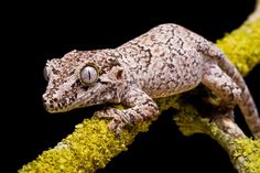 Gargoyle geckos, being nocturnal and arboreal, require a lot of sturdy vines and branches to climb on.