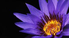 Water lily, close up, petals, pollen wallpaper