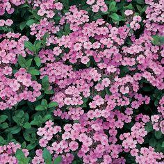 Saponaria ocymoides (Large Plant) - Perennial & Biennial Plants - Thompson & Morgan