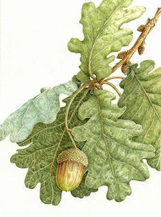 acorn & leaves | illustrated