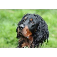 Gordon Setters....beautiful energetic loyal companions...I have one of these too!