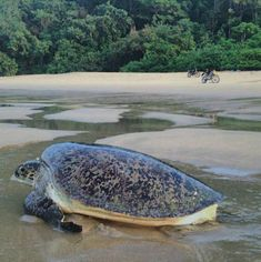 Pada mulanya Pantai Sukamade Banyuwangi asal-usulnya ditemukan oleh salah seorang kolonel Belanda pada tahun 1927 Masehi.  Dahulu kala  Sukamade merupakan hutan lindung yang ada di alam Jawa Timur yang diantaranya terdapat perkebunan karet, kopi, dan cokelat dengan luas daerahnya 1200 Hektar.  Sukamade terletak di sebuah Dusun di Wilayah Desa Sarongan, Kecamatan Pesanggaran, Kabupaten Banyuwangi termasuk dalam kawasan Taman Nasional Meru Betiri. Tours, Animals, Animales, Animaux, Animal, Animais