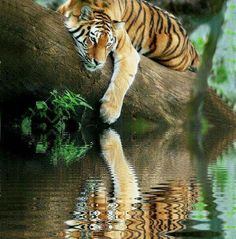 tiger loves water