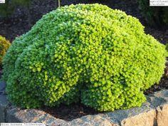 Advice on everything gardening Bush Garden, Garden Shrubs, Garden Trees, Landscaping Plants, Garden Plants, Trees And Shrubs, Trees To Plant, Abies Koreana, Baumgarten