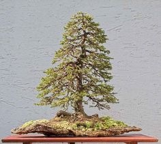 Bonsai Gallery of Walter Pall ezo spruce