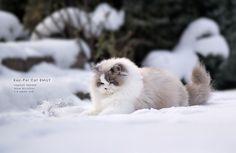 Koc-Pol Cat - Emily by Koc Pol Cat on 500px