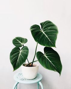 """""""Philodendron gloriousum"""" DEFINITELY added to my wish list… I mean look at those velvety leaves 🌟 Credit to: Indri"""" House Plants Decor, Plant Decor, Planting Succulents, Planting Flowers, Inside Plants, Plants Are Friends, Rare Plants, Foliage Plants, Outdoor Plants"""