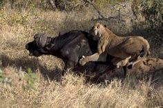 Lion Vs Buffalo  Lazer Horse