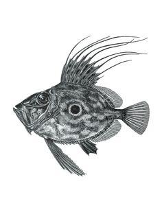 Isto não são fotografias de peixes, são desenhos científicos - PÚBLICO