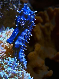 seahorses ~ so magnificent! so fragile! so endangered by tourist industry! we must protect all nature's majestic creatures! they're too precious to abuse & lose!!! this brilliant blue beauty residing in our oceans ~ so deep, home to beauty we don't even yet know!!!