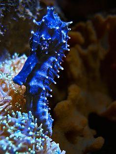 Blue Seahorse #best #meditative #ocean #animals #interesting #beautiful #things