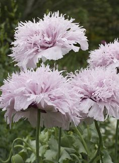 Edible Garden, Garden Pots, Pink Perennials, Growing Grass, Drought Tolerant Plants, Colorful Garden, Blooming Flowers, Native Plants, Dream Garden