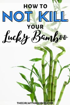 Here's what you need to know to not kill your lucky bamboo! Keep it alive and green with these easy-to-follow instructions!!! KEEP YOUR LUCKY BAMBOO PLANT ALIVE AND HEALTHY WITH THESE SIMPLE TIPS! Lucky Bamboo Care | Lucky Bamboo Plants Care | Lucky Bamboo Care Tips | How to Grow Lucky Bamboo | Lucky Bamboo Care Water | Lucky Bamboo Care Soil | How to Take Care of Lucky Bamboo |