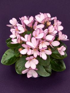 Helpful Guidelines In Growing Indoor Bonsai Trees Hot Sale Beautiful Plant Bonsai Flower Seed African Mini Sky Blue Violet Seeds 30 Pieces Lot Garden Sementes Flor Viola Seeds Violet Plant, Saintpaulia, Flower Cart, Pink Blossom, Different Flowers, Flower Seeds, Pansies, Houseplants, Indoor Plants