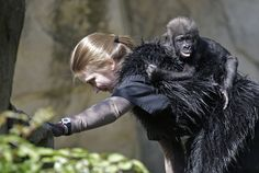 Ashley Chance carries a three-month-old western lowland gorilla named Gladys in the outdoor gorilla exhibit at the Cincinnati Zoo for her first time Tuesday, April 30, 2013, in Cincinnati. The baby gorilla was born Jan. 29 at a Texas zoo to a first-time mother who wouldn't care for her. Zoo workers and volunteers are acting as surrogate mothers to prepare the baby to be introduced to two female gorillas at the Cincinnati Zoo who might accept her.