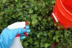 How to Get Rid of Ivy With White Vinegar | Hunker - Modern Design Poison Ivy Killer, Kill Poison Ivy, Home Design, Modern Design, Poison Ivy Plants, Ivy Plant Indoor, Purple Spring Flowers, Killing Weeds, Weed Killer Homemade