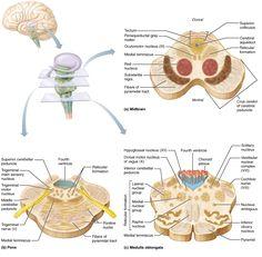 The Central Nervous System Brain Anatomy, Medical Anatomy, Anatomy And Physiology, Human Anatomy, Forensic Psychology, Psychology Major, School Psychology, Cerebellum Anatomy, Brain Nerves