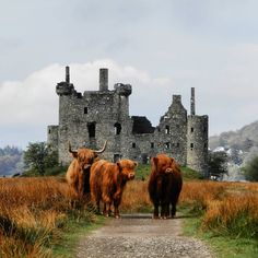 Castles and Scottish Highlands Cattle who could dream of anything better than this on their vacation destination to Scotland? Scottish Highland Cow, Highland Cattle, Scottish Highlands, Scotland Castles, Scottish Castles, Fluffy Cows, Cute Cows, Scotland Travel, Scotland Sightseeing
