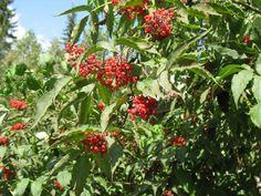 terttuselja - Sambucus racemosa