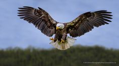 Bald Eagle Hunting by Prism Photography on 500px