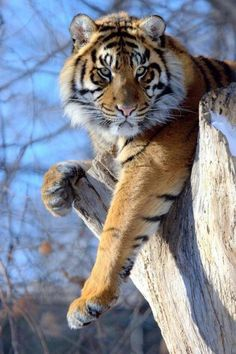 Absolutely stunning picture of a gorgeous begal tiger! An endangered beauty.