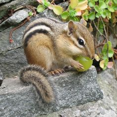 A juicy grape is a welcome treat for this Chipmunk, after dry peanuts! Hamsters, Rodents, Animals And Pets, Baby Animals, Funny Animals, Cute Animals, Wild Animals, Pictures Of Chipmunks, Beautiful Creatures