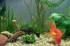 Online store of carpet aquarium plants, lilaeopsis, micro sword, aquarium plants