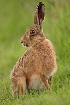 Brown Hare sitting, side look after sunset. May Suffolk Lepus europaeus