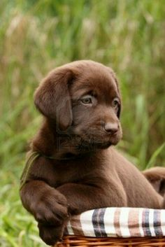 .What a beautiful brown lab puppy!!!!