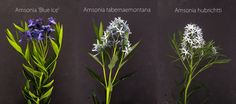 Plant ID: Amsonia, Thinking Outside the Boxwood,  (Left to right: Amsonia 'Blue Ice', A. tabernaemontana, A. hubrichtti)