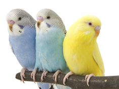 The most popular bird in the world will make a great pet for any age group.