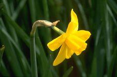 Narcissus 'Sweetness' (7)   jonquil 'Sweetness'/RHS Gardening
