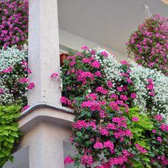 h ngepflanzen f r balkon welche pflanzen sind auf den balkon zu h ngen terrassen pflanzen. Black Bedroom Furniture Sets. Home Design Ideas