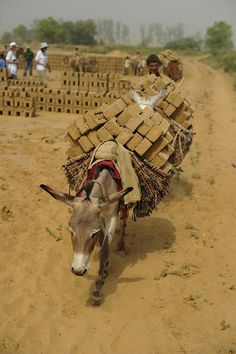 India: Manu is one of the many donkeys that carries wet bricks to be fired at a brick kiln in the Badli region of India, near Delhi.  His young owners have called him Manu, an affectionate term that means 'little one'.