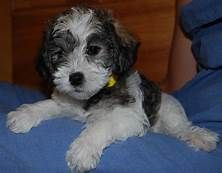 Mini Schnoodle Breeders Yahoo Image Search Results Snoodle Puppies Schnoodle Schnoodle Puppy