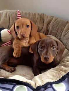 Adorable Charlie & Hugo, miniature Dachshund puppies.