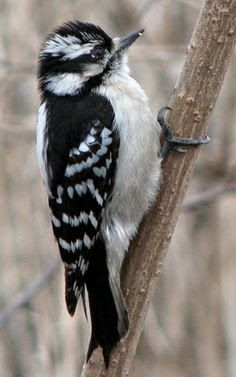 This is a downy baby Woodpecker. Woodpeckers are birds that are found all over the world but not in Australia. Woodpeckers have a very strong beak with a tongue up to 4 inches. ~Me  #birdphotography   #woodpecker   #birds