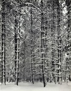 Ansel Adams - Pine Forest in Snow (Yosemite National Park, California, USA, 1932).