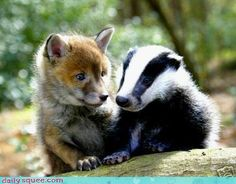 Fox and Badger, Farthing Wood