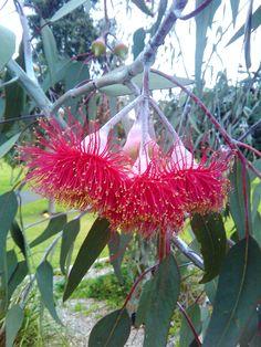 Caesia, Gungurra, Silver Princess (Eucalyptus caesia) Endemic to the central Wheatbealt region of Western Australia.