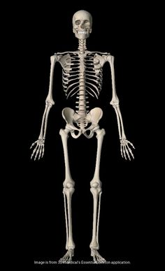 artstation - human skeleton, tai ji | armature | pinterest | human, Skeleton