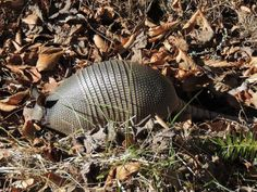 Mountain armadillo a rare winter find!  BREVARD — A South Carolina man spotted one of just a few living armadillos in the mountains — and he has the photograph to prove it.  http://www.blackmountainnews.com/article/20140125/NEWS/301250024/