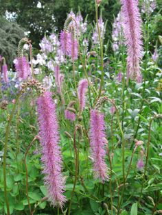 Perenial sanguisorba is a great bee attractant and a lovely garden plant. Loves sun. Grows to 6 ft tall. Deer resistant. Late summer blooms. There are many other varieties of Sanguisorba, in different colours and different heights.
